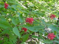 elderberry_leaf_fruit