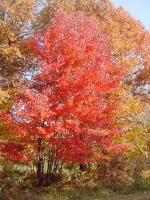 maple_red_form_color_3