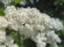 common_lilac_02_flower_penn
