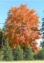 maple_red_form_color