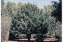 pear_harbin_usda_plant1
