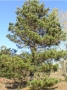 pine_norway_form